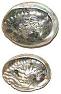 Abalone Shell - Whole - Select Small