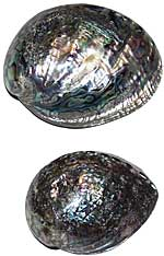 Abalone Shell - Whole - Polished