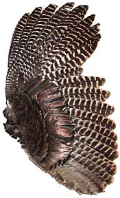 Bronze Turkey Feathers - Complete Wing