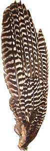 Bronze Turkey Feathers - Primary Wing