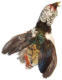 Pheasant Feathers - Lady Amherst - Select #1 Skin with Crest