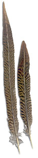 Golden Pheasant Feathers - Tails