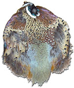 Pheasant Feathers - Ringneck - Skins - No Tails