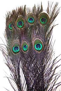 Peacock Feathers - Eyed Sticks - Dyed Black
