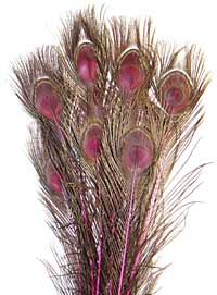 Peacock Feathers - Eyed Sticks - Dyed Pink