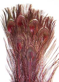 Peacock Feathers - Eyed Sticks - Dyed Red