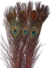 Peacock Feathers - Eyed Sticks - Dyed Orange