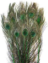 Peacock Feathers - Eyed Sticks - Dyed Green