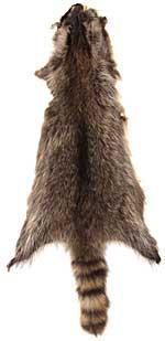 Raccoon - Good Quality